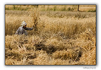 Farmer-Cuts-The-Wheat-Crop.jpg